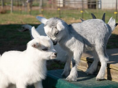 A two baby Goat on a table